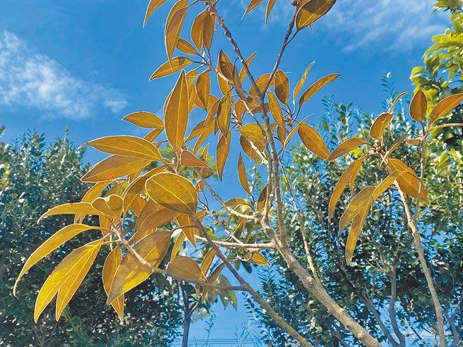 台東富山實驗小學與綠色冀泉企業合辦「你購物、我種樹」,此次種下的佛光樹,葉背呈金色絨毛,曾被農委會林務局將其列為「嚴重瀕臨絕滅」的稀有物種。(蔡旻妤攝)