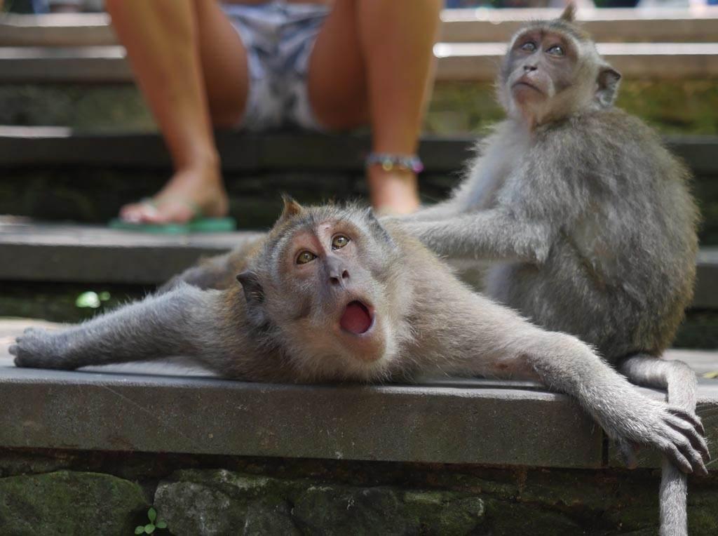 猴子替同伴「人工呼吸」?真相跟你想的不一樣(示意圖/達志影像)