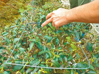 9月連雨 坪林茶葉水傷產量減半