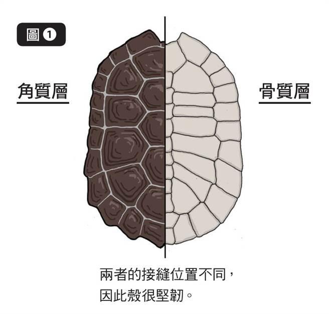 烏龜的殼由肋骨與脊椎所組成,形狀就像一塊板子,稱為「骨質層」。(圖/三采文化提供)