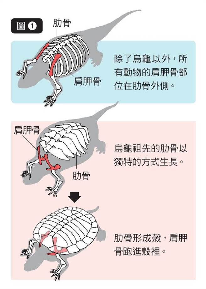 一般來說肋骨會從背面的脊椎朝胸部及腹部彎曲並延伸,但烏龜的肋骨在演化過程中卻逐漸朝兩側延伸,肩胛骨的位置也跑到了肋骨以下。(圖/三采文化提供)