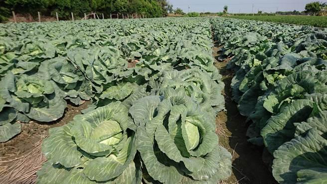 據農糧署供苗預警系統統計,11月上旬甘藍種苗供應量達731萬株,二度爆紫燈。(農糧署提供/林良齊台北傳真)