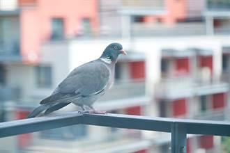 鴿子淋雨凍壞困窗邊狂抖 暖遇屋主隔空吹毛捨不得走