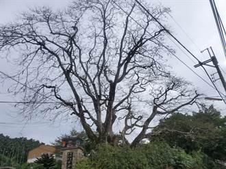 居民不捨50年鳳凰木枯死 華南國小:萬蟲啃光葉子,還活著