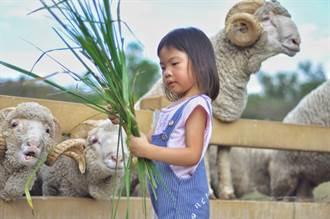 清境農場的羊又出事了 孩子餵吃塑膠手套 遊客傻眼