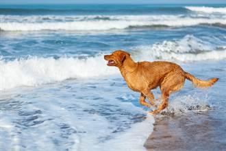 海邊度假驚覺主人有危險 愛犬跳水神救援鯊魚秒嚇逃
