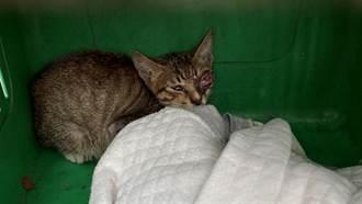 流浪幼貓爆眼腫3倍大 「內眼皮全外露」治癒後變大眼妹