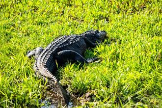 哥吉拉巨鱷漫步高爾夫球場 驚人「肥尾長腿」全網看呆