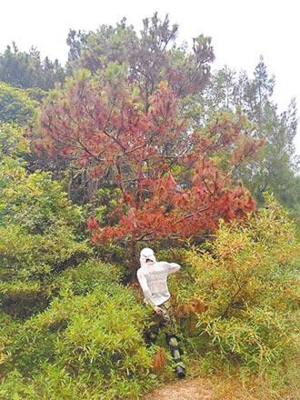 金門松蟲蟲危機 中山林封園砍樹