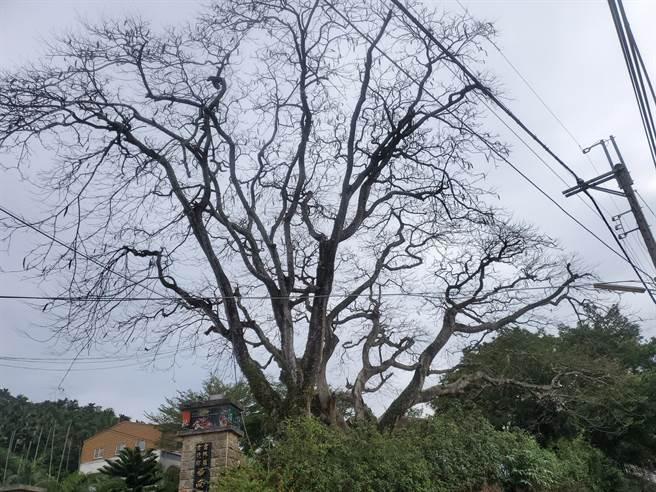 古坑鄉華南國小的兩棵50年鳳凰木最近如枯死一般。(周麗蘭攝)