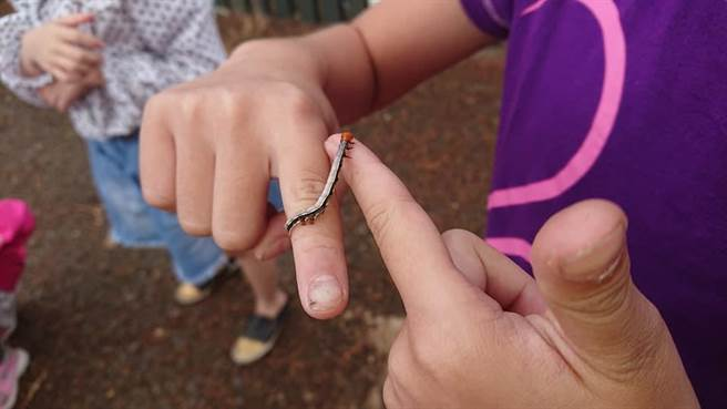 小二學生在老師帶領下認識鳳凰木夜蛾的變態過程以後就不怕了。(華南國小提供)