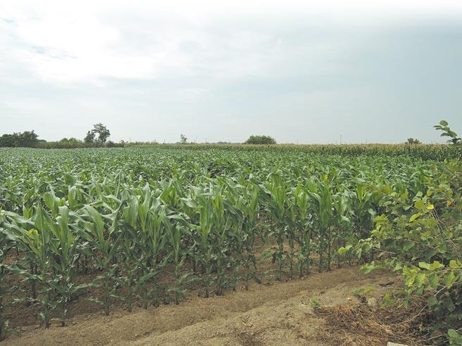 玉米旱災救助啟動後,天降甘霖,現在遠觀玉米田已是一片「綠油油」。(張毓翎攝)