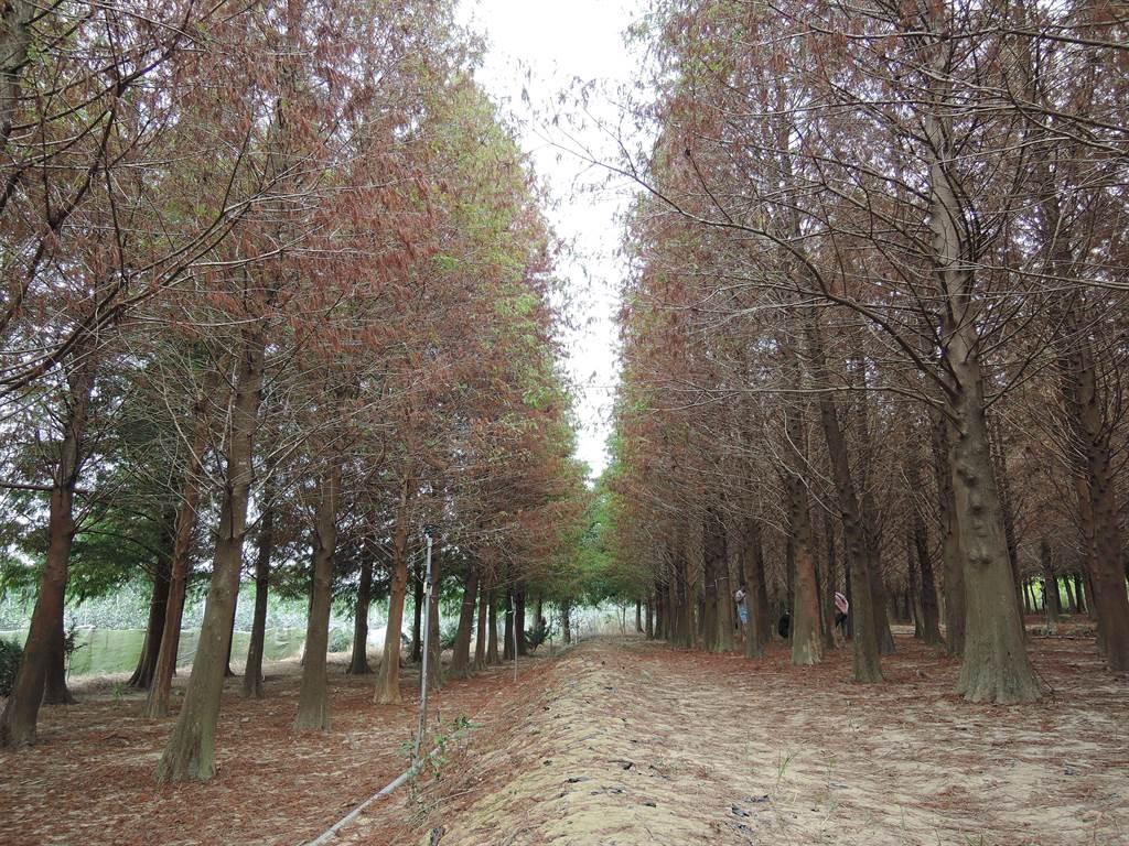 每年的11月到2月是欣賞落羽松的最佳時機,11月上旬葉片慢慢由綠轉黃。(張毓翎攝)