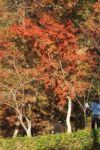 東勢林場變色葉植物換冬裝 遊客憑花海合照享優惠