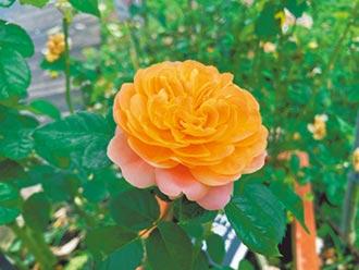 台北玫瑰園逍遙遊 追尋紅樓夢植物密碼