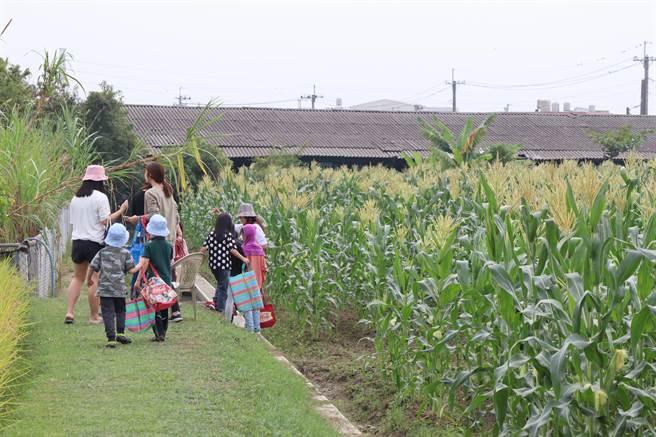 假日常有親子到陳田農場體驗玉米採收。(劉秀芬攝)