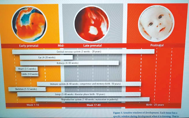不同孕期的發展都受環境荷爾蒙影響,胚胎、胎兒、嬰兒(本圖摘自世界衛生組織2013年內分泌干擾物的報告)。圖╱台灣生態危害健康管理學會理事長彭瓊芳提供