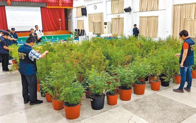 屏東警方在竹田鄉一處農舍,查獲大麻種植製造工廠,起出524株大麻植株及成品,市價超過2億元。(潘建志攝)