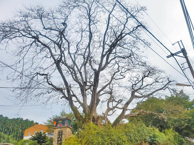 雲林縣古坑鄉華南國小校門口兩棵50年鳳凰木。(周麗蘭攝)