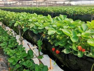 台南善化草莓提早報到開放採果 旅行社接洽業者期待