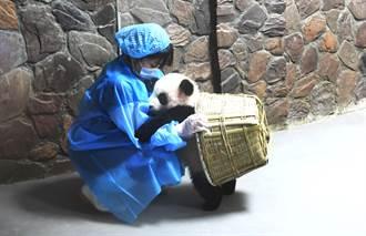 貓熊寶寶肉身阻擋不讓離開 見保育員狠心關門崩潰跌落樓梯