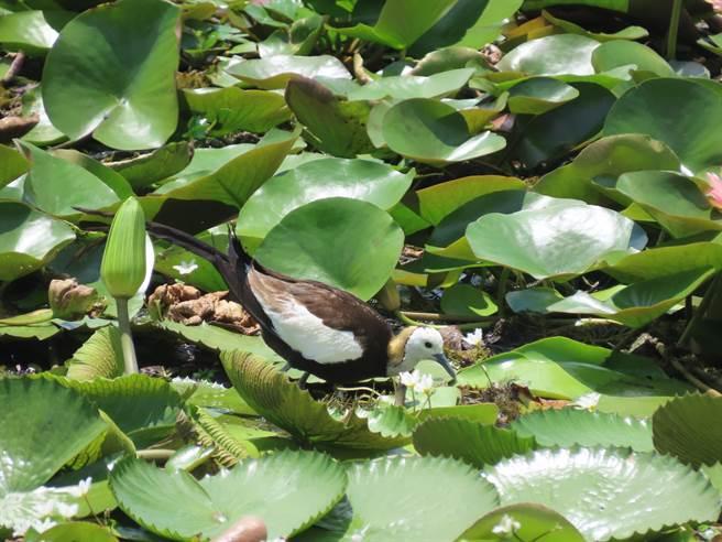 台南官田水雉保育20周年,全台從不到50隻,現在已經有上千隻。(莊曜聰攝)