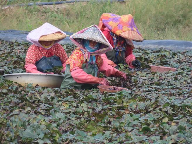 菱角田是水雉重要棲地,但因種植菱角費工,近年栽種面積不如以往,是未來的一大隱憂。(莊曜聰攝)