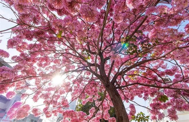 彰化市南郭國小校門口的洋紅風鈴木每年初春綻放,美不勝收,總是吸引滿滿賞花人潮!(資料照)