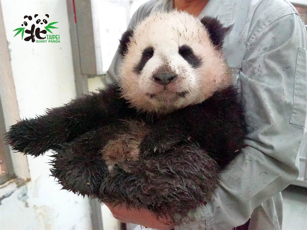 大貓熊寶寶「圓寶」貪玩滾泥巴,全身被弄得髒兮兮的,讓保育員看的哭笑不得(圖/臺北市立動物園)