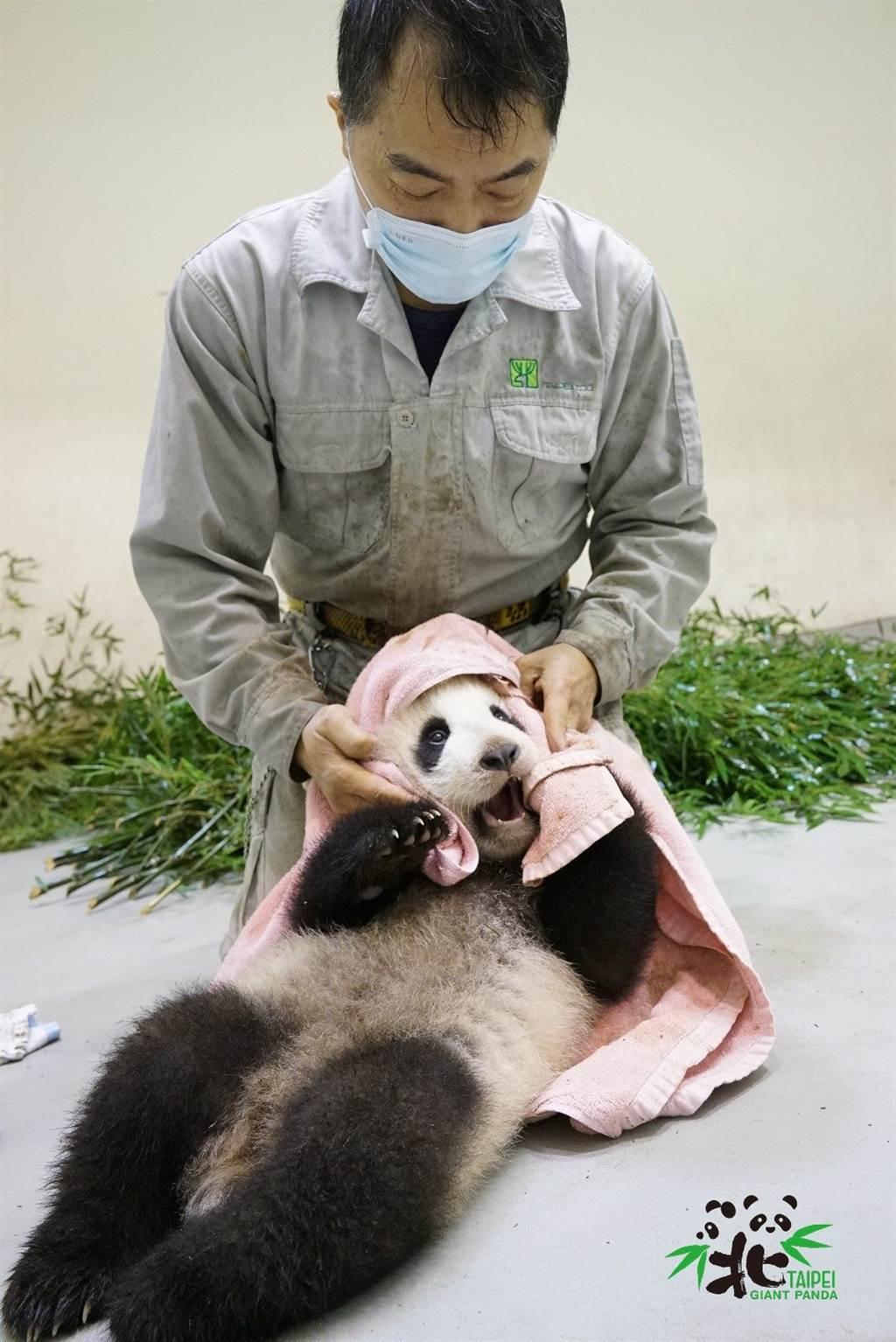 「圓寶」在被清潔時,甚至試圖抓住「彪拔」的手(圖片來源/臺北市立動物園)