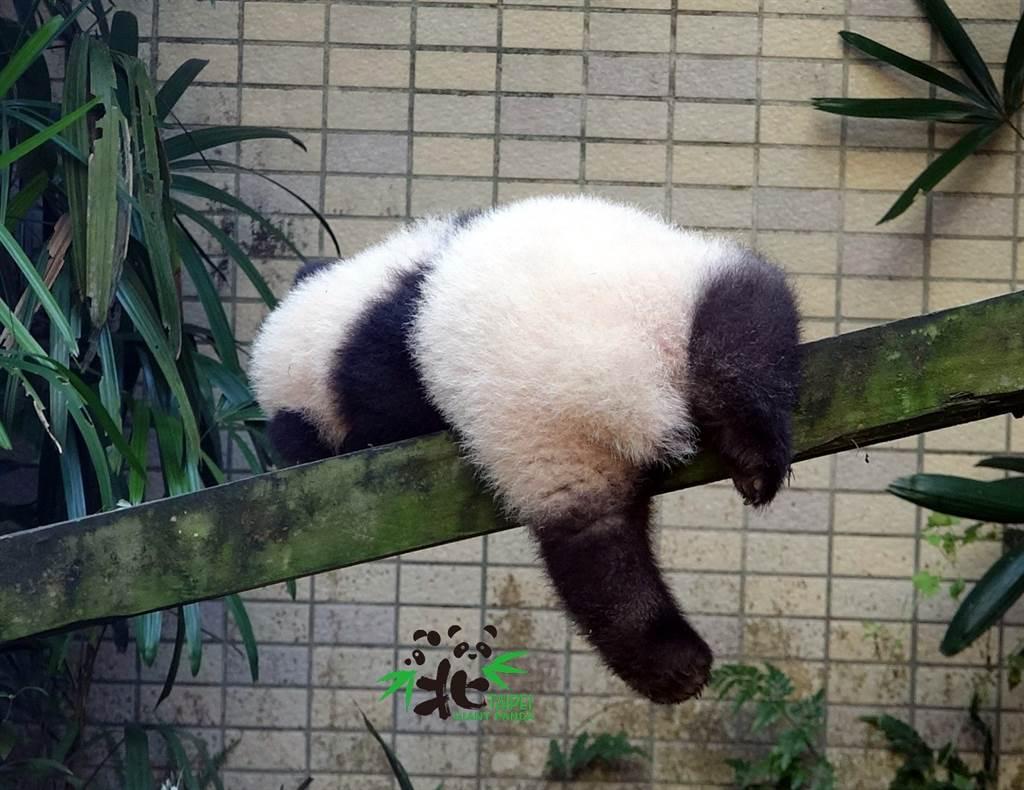 「圓寶」掛在木棍上休息,看起來像斷電的玩偶(圖片來源/臺北市立動物園)