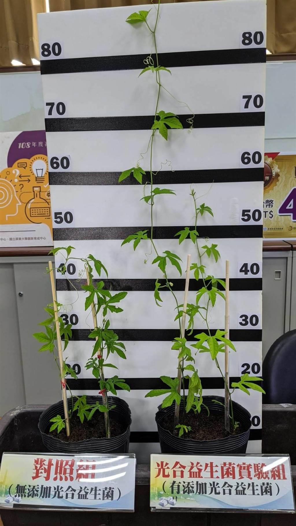 屏東科技大學生物科技系教授陳又嘉(中)團隊,研發「光合益生菌培養包」,長出的作物更大更好。(潘建志攝)