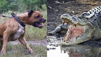 5隻比特犬打得贏1隻河口鱷嗎?網答案超意外