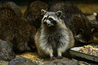 家被25隻喪屍級浣熊包圍 食物被吃光翁卻不驅趕原因暖爆