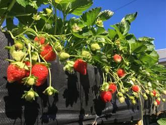 大湖草莓一期果搶先上市 草莓路跑開放報名