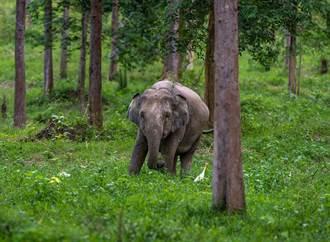 小象自以為很瘦 躲電線杆後方 背著地主偷吃甘蔗