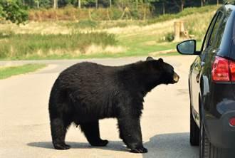 動物園驚魂!黑熊壓裂車玻璃 一家3口嚇破膽