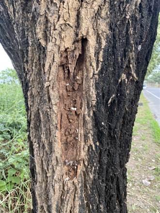 下營區174線洋紅風鈴木病蟲害  上百株遭殃