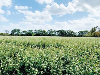 桃园农民改种荞麦 抗旱又美观