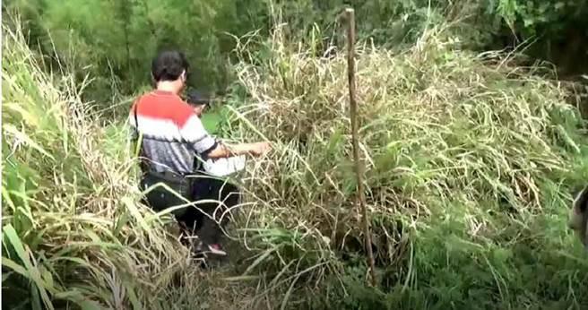 警方逮捕丘姓嫌犯等人后,至弃尸地点找黄男遗体,现场芒草和杂草高过一个人人头,警方穿越下坡时,还得刻意拨开杂草。(图/翻摄画面)