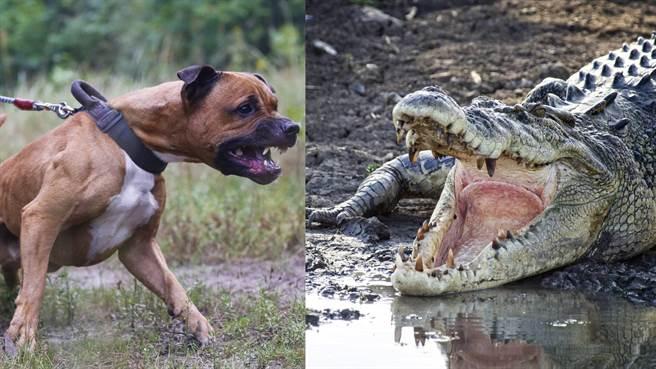 5隻比特犬打得贏1隻河口鱷嗎?網答案超意外(示意圖/達志影像)