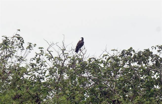 戰機衝場時,志航基地外圍飛起1隻蜂鷹。(莊哲權攝)
