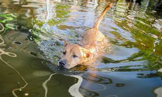 遇水災狗被留在原地下半身泡水 墊腳站角落絕望等主人