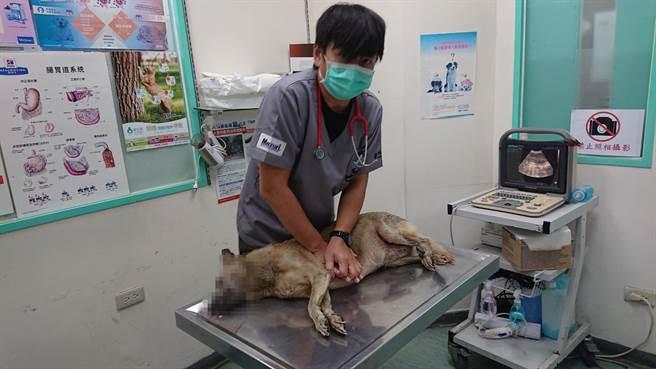 小黃狗經急救後仍宣告死亡。(程炳璋攝)