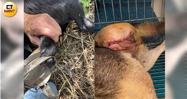 苗栗縣捕獸夾與山豬吊等陷阱氾濫,導致縣內流浪貓狗或野生動物傷痕累累、斷肢情況嚴重。(圖/民眾提供)
