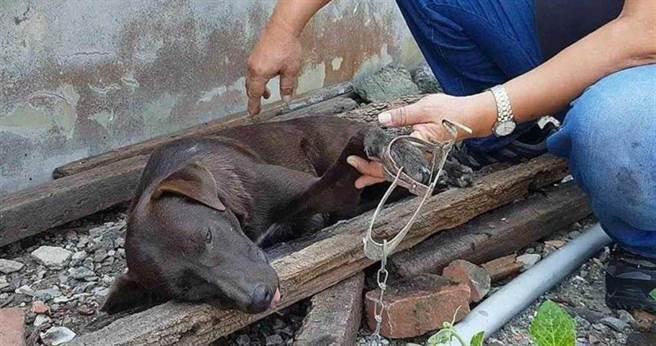 以捕捉狗狗送往節育為專業的張先生,11月上旬就抓到6隻被獸夾夾傷到處跑的流浪狗。(圖/民眾提供)