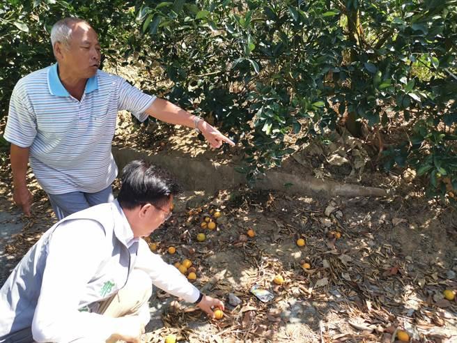 果農陳丁田(後)表示,他的柳丁園今年果實都萎縮、掉滿地,無法採收。(劉秀芬攝)