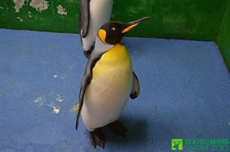 首隻在台出生國王企鵝「黑麻糬」過世 6度生子未果沒留後代