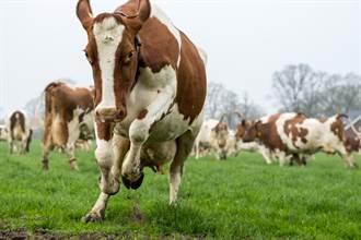 印度人趴地被200多頭牛當地墊踩 神秘目的曝光