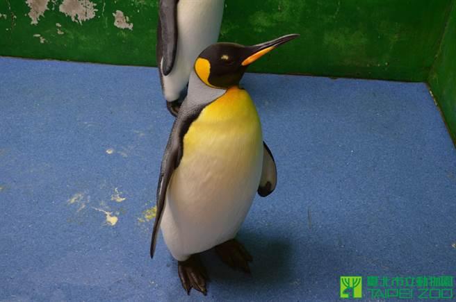 國王企鵝「黑麻糬」高齡17歲過世,但卻一直未能產下後代(圖/台北市立動物園提供)